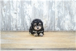 Picture of TOY Gigi, WWW.PREMIERPUPS.COM