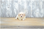 Picture of TOY Gus, WWW.PREMIERPUPS.COM