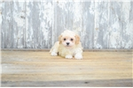 Picture of TOY Gina, WWW.PREMIERPUPS.COM
