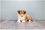 Picture of MINI SHANIA, WWW.PREMIERPUPS.COM