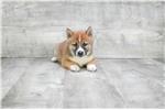 Picture of SHIBA/POM MIX STEPHANIE, WWW.PREMIERPUPS.COM