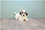 Picture of ADAM, WWW.PREMIERPUPS.COM