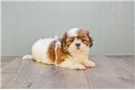 Picture of Tessa, WWW.PREMIERPUPS.COM