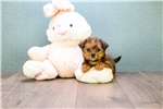 Picture of Teacup Carebear, WWW.AFFORDABLEPUP.COM