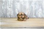 Picture of Archie, WWW.PREMIERPUPS.COM
