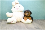 Picture of Teacup Raymond, WWW.AFFORDABLEPUP.COM