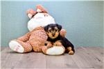 Picture of Teacup Roscoe, WWW.PREMIERPUPS.COM