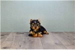 Picture of TEACUP Sonya, WWW.PREMIERPUPS.COM