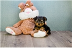 Picture of TEACUP Timmy, WWW.PREMIERPUPS.COM
