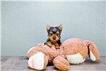 Picture of TEACUP Lisa, WWW.PREMIERPUPS.COM
