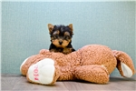 Picture of MICRO TEACUP Tinkerbell, www.premierpups.com