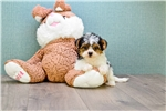Picture of Teacup Diddy, WWW.PREMIERPUPS.COM