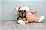 Picture of TEACUP Snickers, WWW.PREMIERPUPS.COM