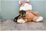 Picture of TEACUP Heidi, WWW.PREMIERPUPS.COM