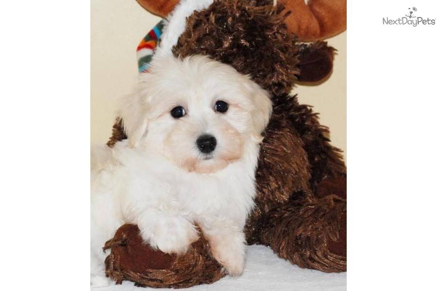 Havanese Dog For Sale Cheap