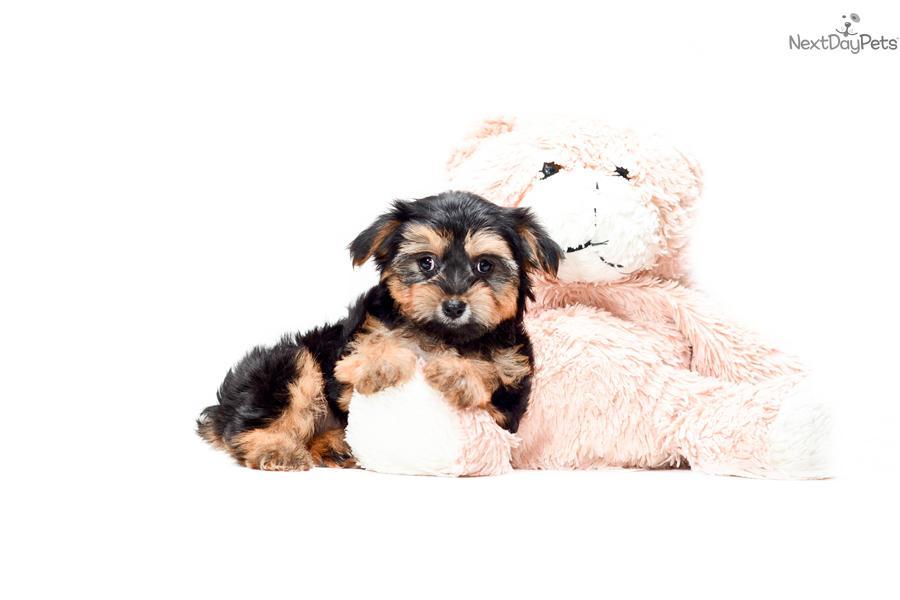 Maltese Yorkie Poodle Mix Puppies