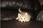 Picture of Shepsky Baby Girl for Adoption