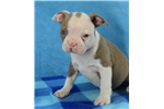 Picture of AKC Lilac Male Donald Duck
