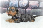 Picture of AKC ANDRE Blue and Tan Silky wire
