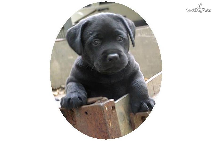 Labrador Retriever puppy for sale near Memphis, Tennessee | c4624222 ...