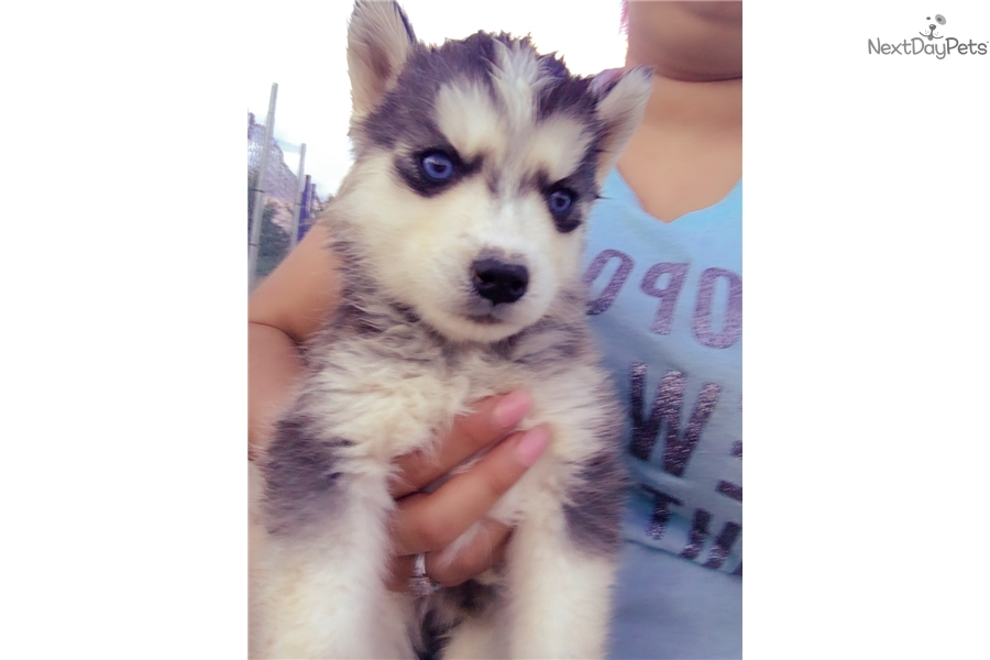Husky Dogs For Sale In El Paso