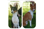 2 sweet Basenjis looking for a family to love! | Puppy at 9 years of age for sale