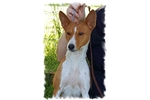 2 affectionate Basenji girls for a family to love! | Puppy at 9 years of age for sale