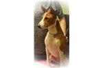 Loving little Basenji girl | Puppy at 31 months of age for sale
