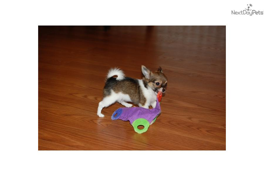 meet taffy a cute chihuahua puppy for sale for  600  akc beautiful long coat female