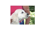 Featured Breeder of Golden Retrievers with Puppies For Sale