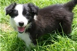 Picture of www.bordercolliepuppies.net