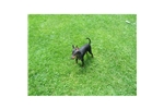 Picture of AKC Toy Manchester Terrier Puppy For Sale