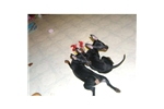 Picture of Show prospect toy female puppy for sale