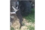 Picture of Max - Boston Terrier