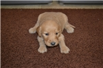 Goldendoodle for sale
