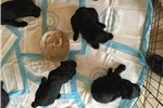 Picture of Blackies Ready For Christmas Delivery