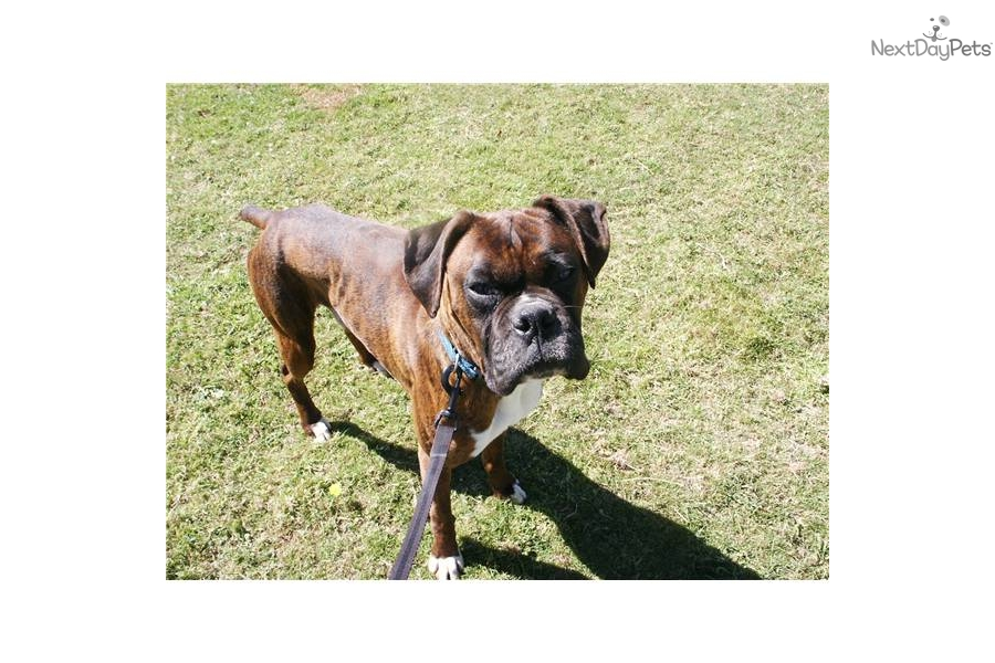 Boxer Dog For Sale In Portland Oregon