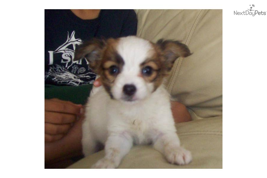 Papillon for sale for $399, near Lake Of The Ozarks, Missouri ...