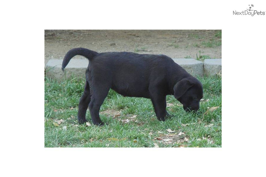 Akc English Chocolate Male Labrador In Palm Springs Californiafor ...