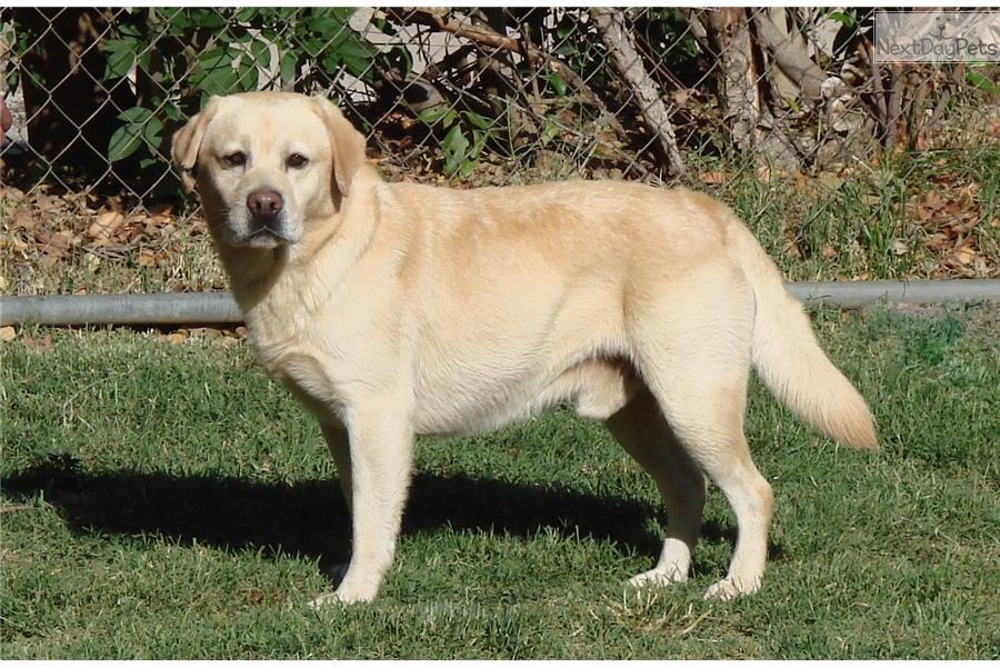 cody  labrador retriever puppy for sale near palm springs  california