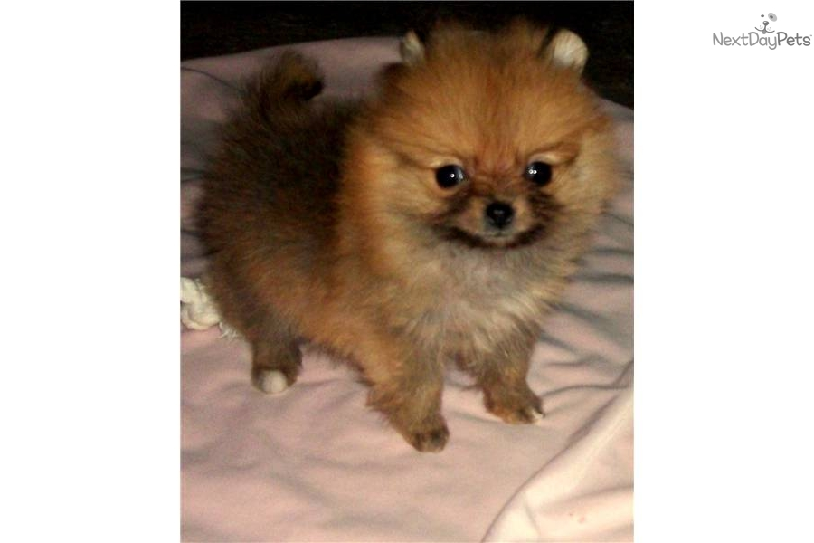 Orange Sable Pomeranian Puppies For