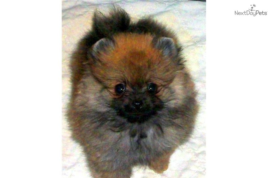 Meet Timmy A Cute Pomeranian Puppy For Sale For 1 200