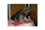 Picture of a Border Terrier Puppy