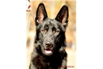 German Shephe
