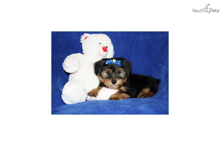 kacy-beautiful-yorkie--417-554-0197-dog-yorkshire-terrier-yorkie-puppy