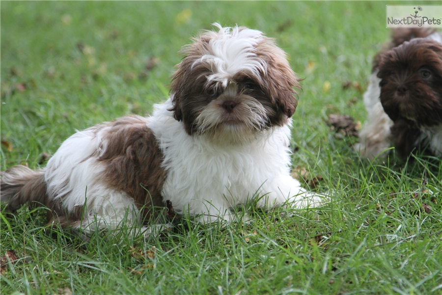 Bo Shih Puppie Related Keywords Suggestions Bo Shih Puppie Long