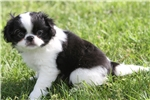 Picture of Playful little Bentley! AKC Registered!