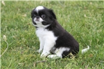 Picture of Spunky little LuLu! AKC Registered!