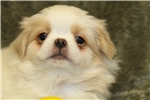 Picture of Sweet Little Toshi! AKC Registered!
