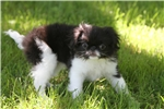 Picture of Lovely little Ridgley! AKC Registered!